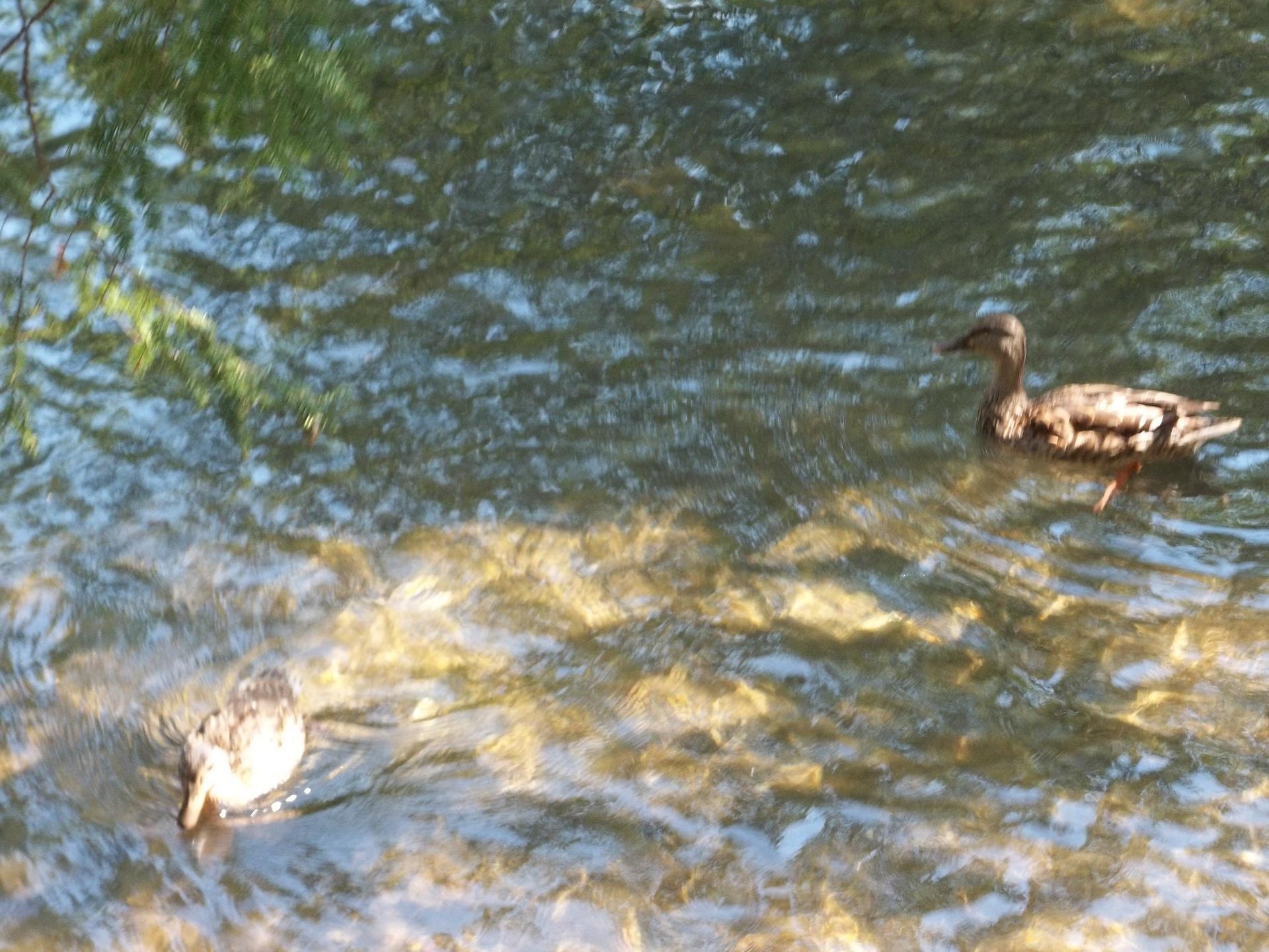 Ducks in the Bay